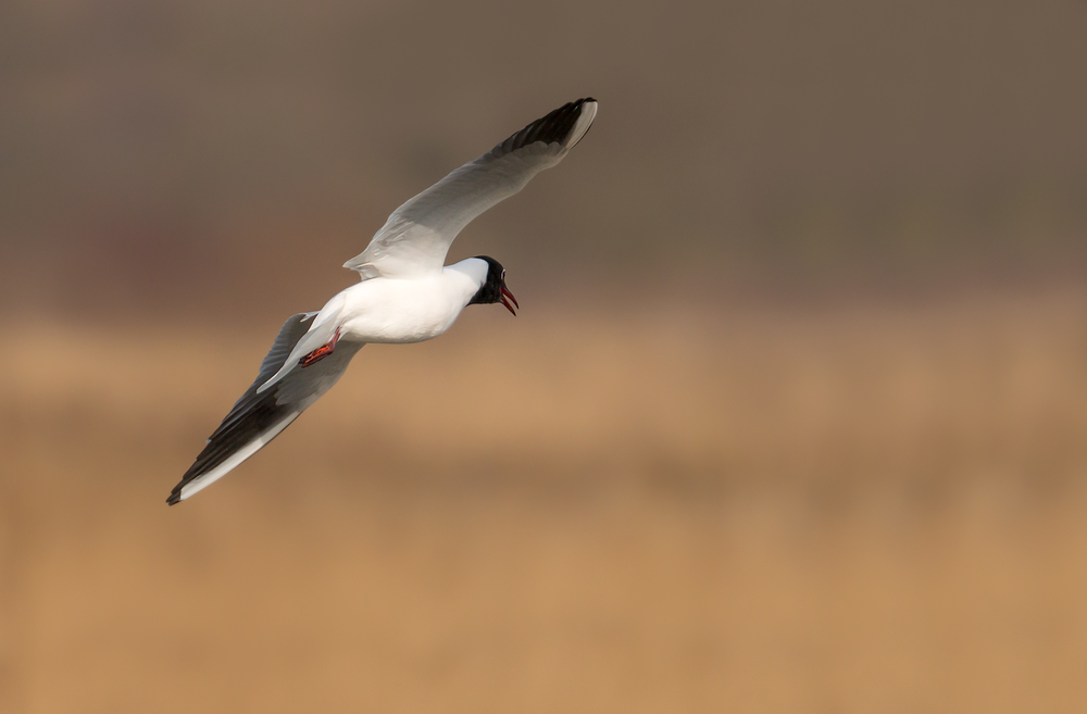 Low flying Black Headed Gull