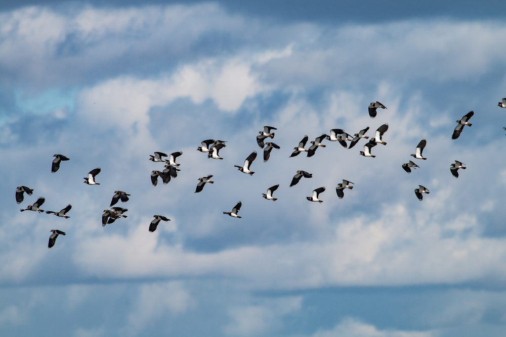 Part of a flock of Lapwings
