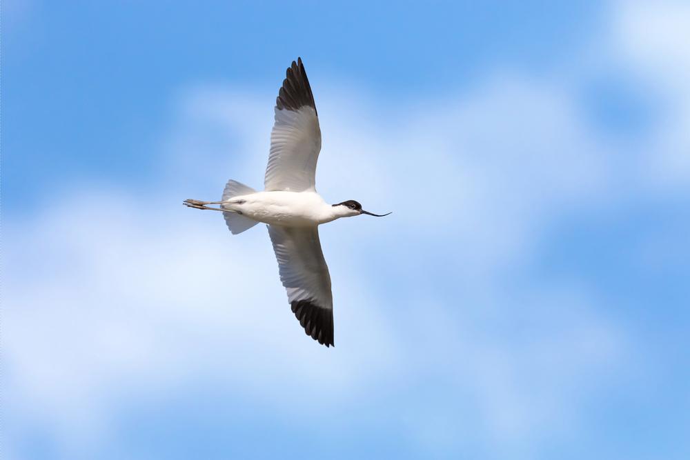 Avocet showing wingspan
