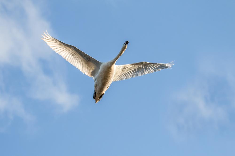 Swan flyover