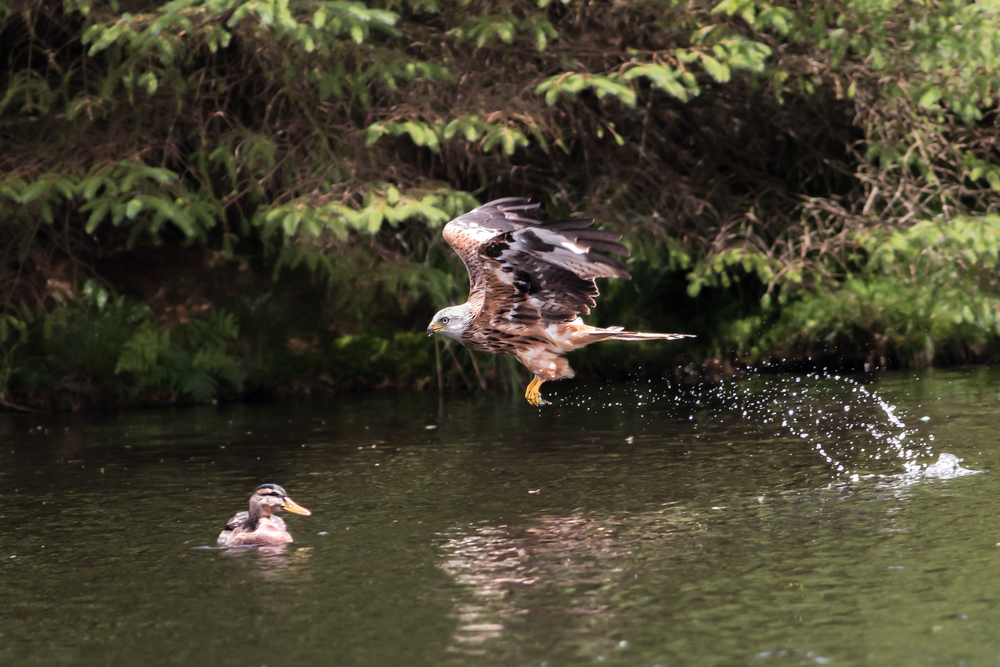Red Kite collecting dropped food from the water