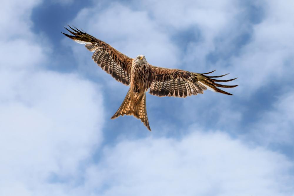 Red Kite gliding effortlessly above me