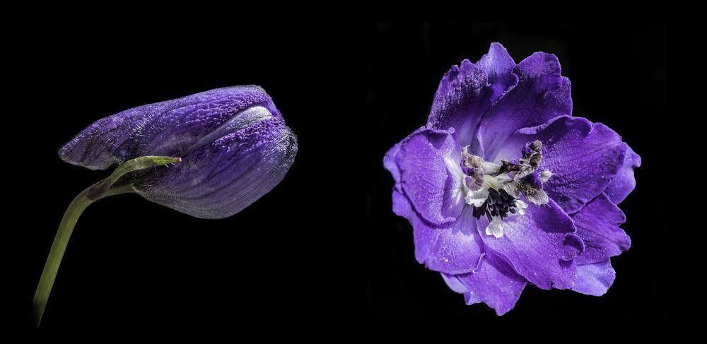 Delphinium flower bud and open (composite)