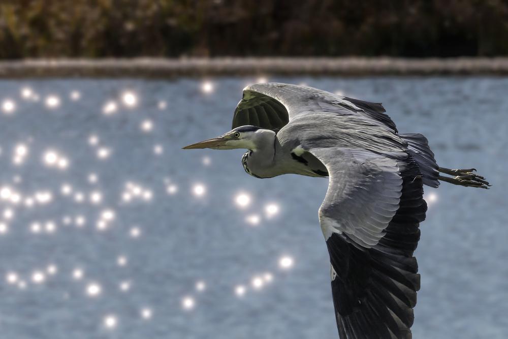 Grey Heron lakeside