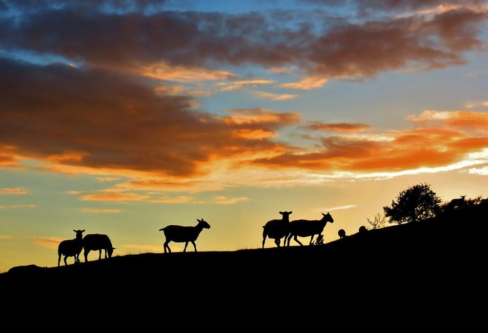 Welsh hillside sheep at sunset