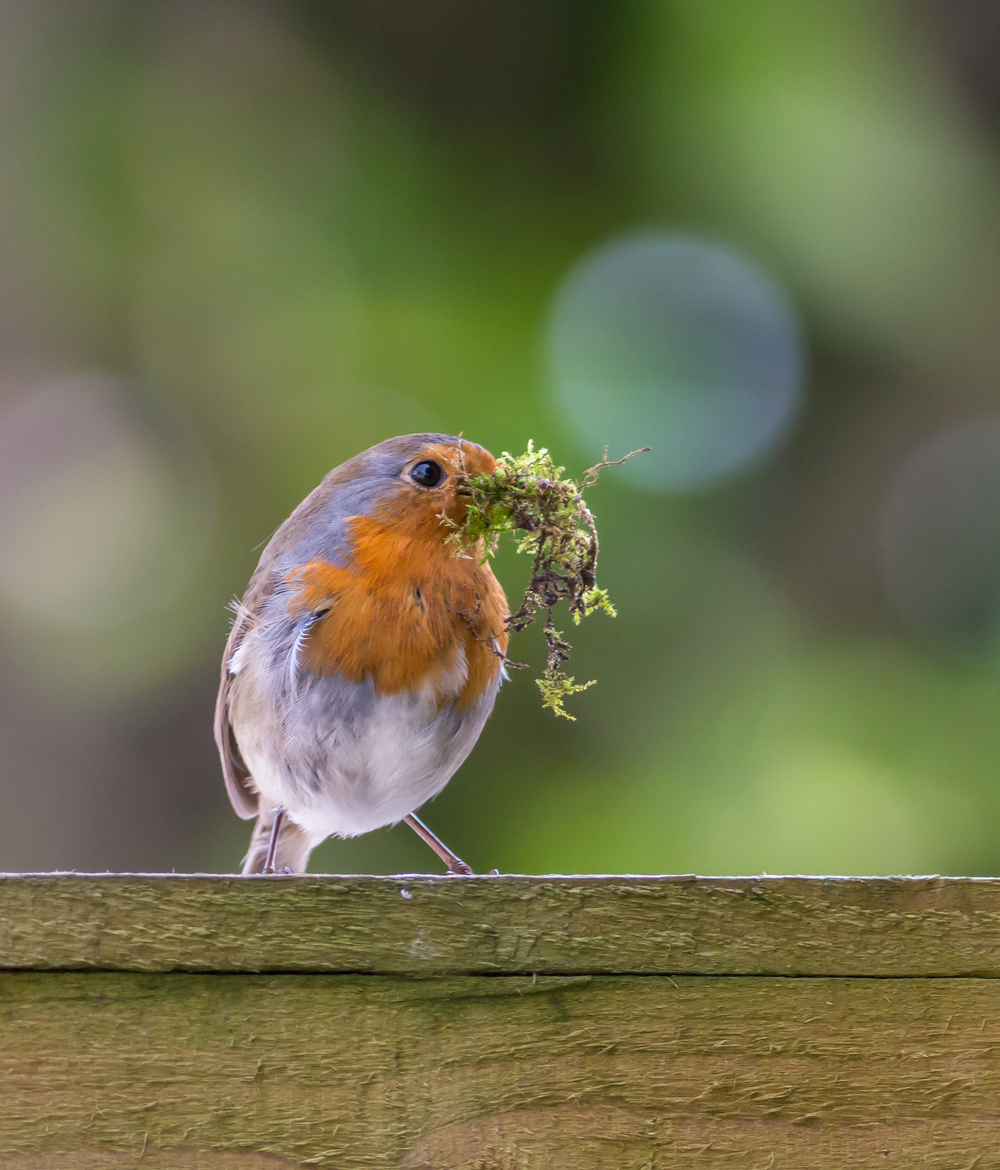 Robin with moss for the nest