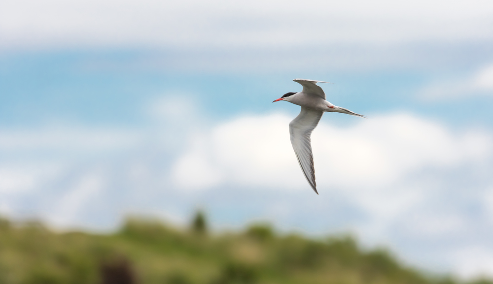 A Common Tern overflying Middleton Lakes