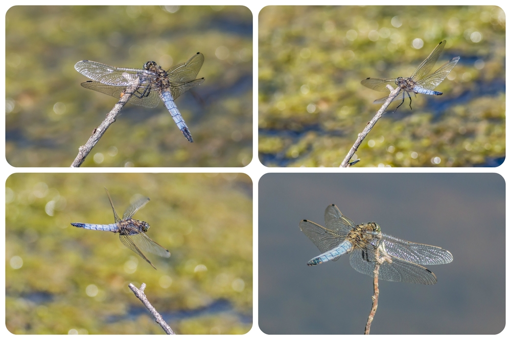 Black Tailed Skimmer dragonfly collage