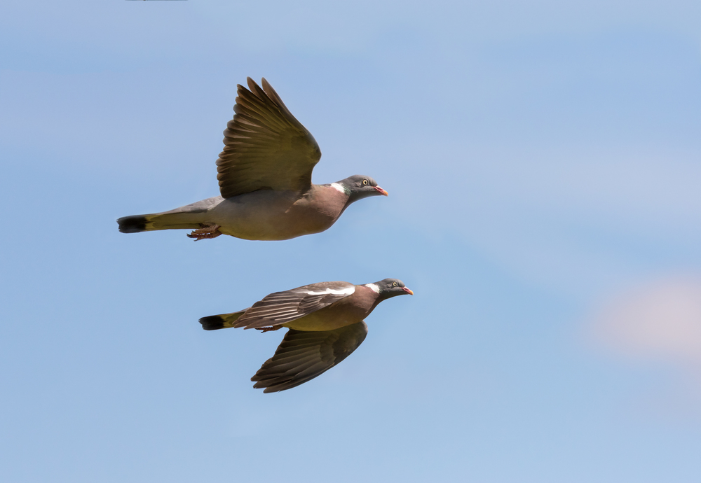 Two pigeon flyby