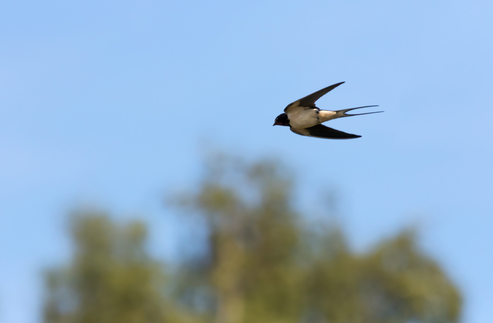 Streamlined Swallow flight