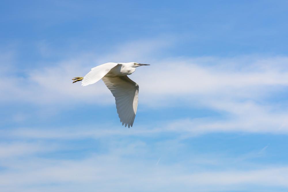 Little Egret downward wingbeat