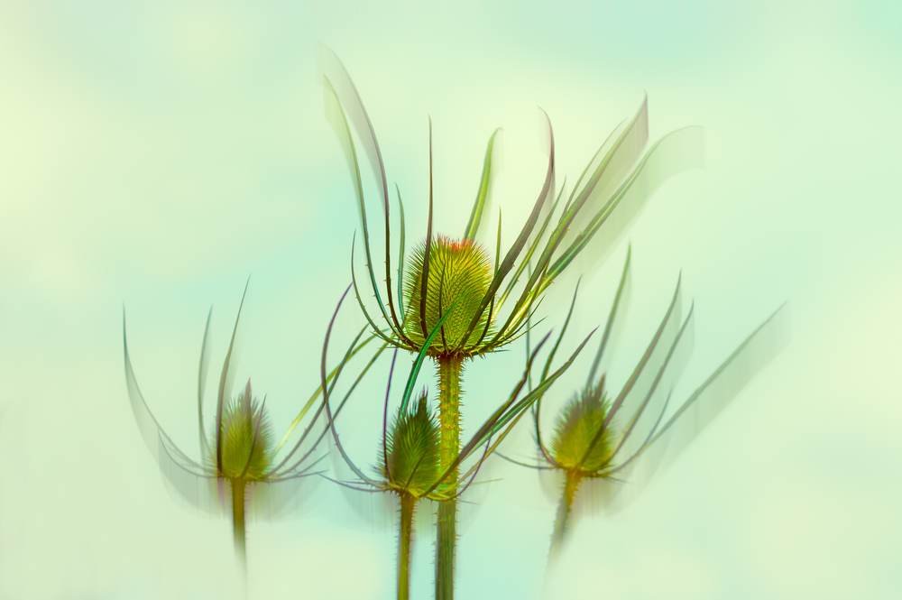 """""""Dancing Teasels"""" (abstracted)"""