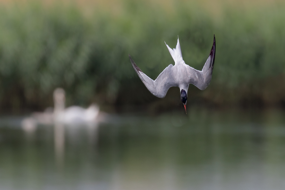 Common Tern in diving mode