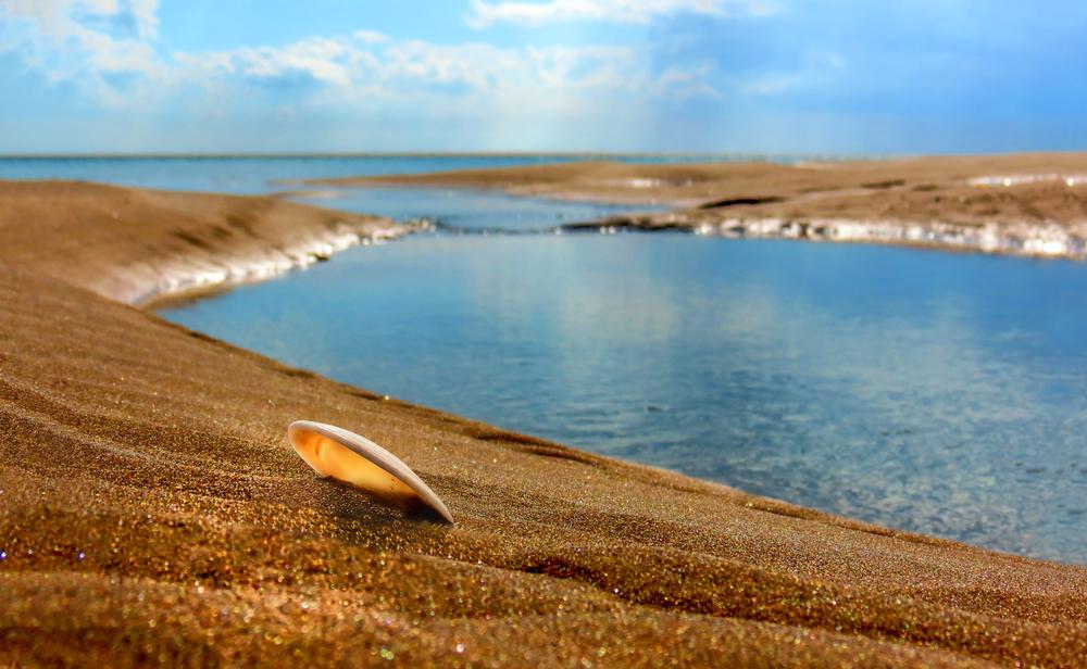 Tellin seashell at Aberdovey beach low tide
