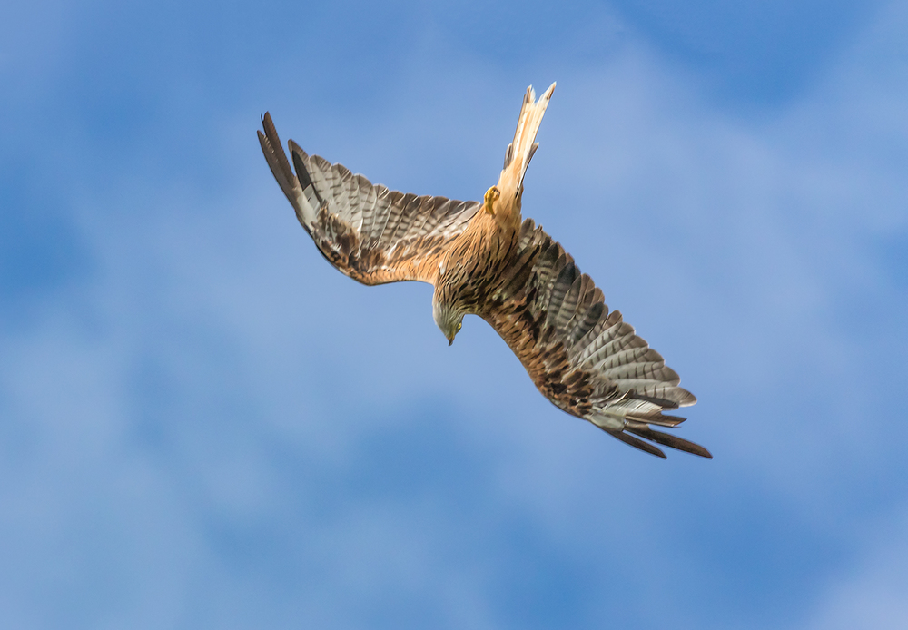 Underneath a swooping Red Kite
