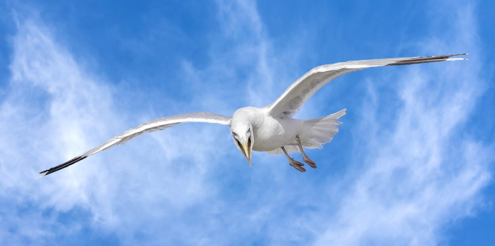 Angry Seagull !