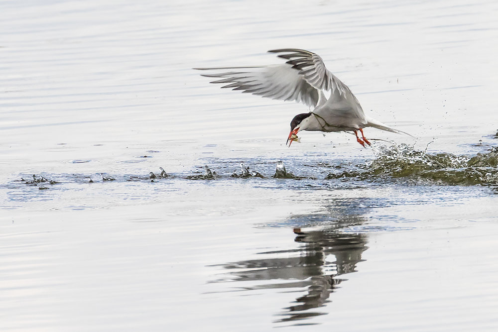 Tern catches fish !