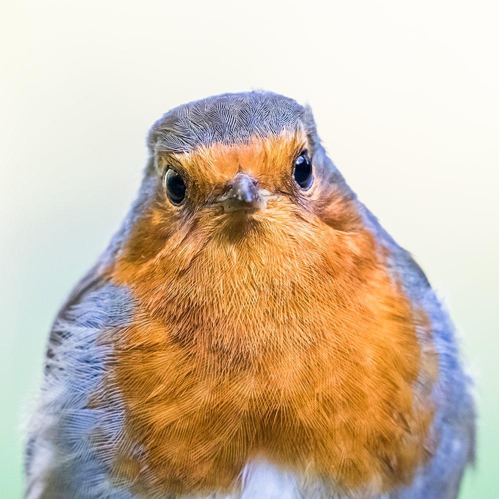 A Robin with attitude