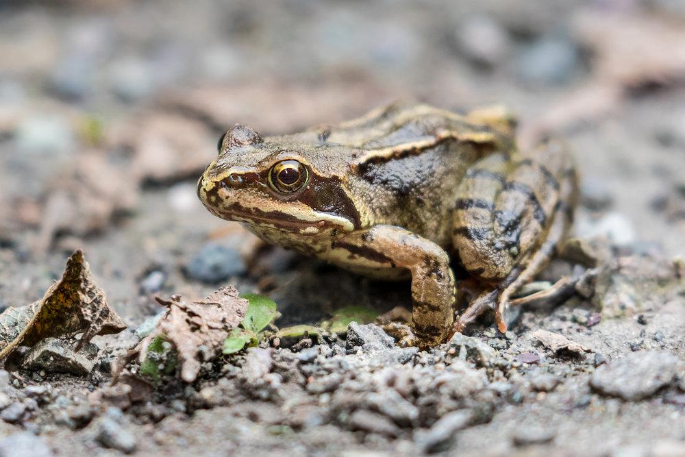 3cm Baby Frog