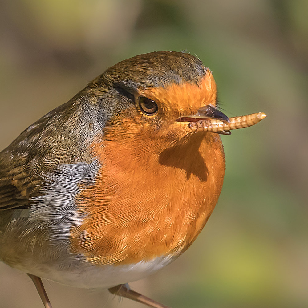 A Robin with a mealworm