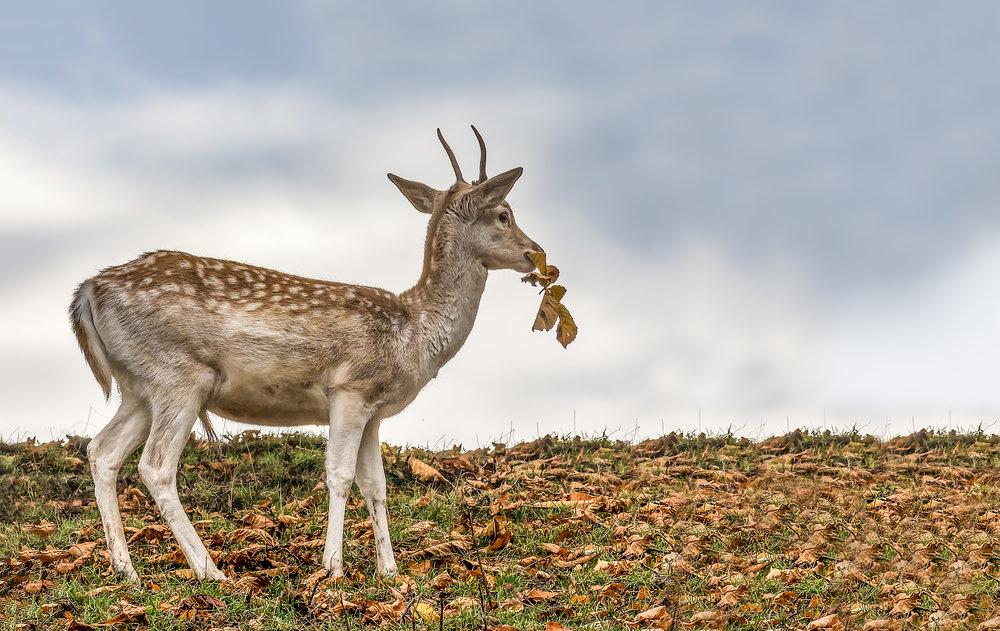 Fallow Deer at Calke Abbey