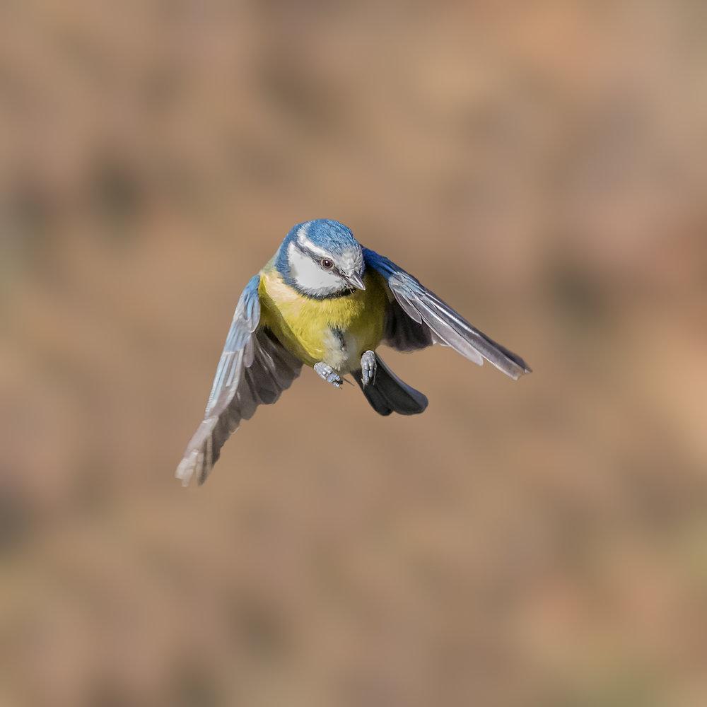 Blue Tit aerial agility