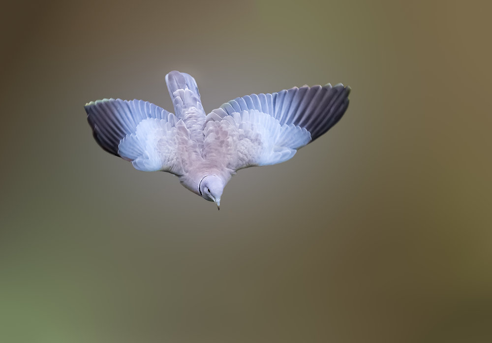 A Collared Dove diving flight