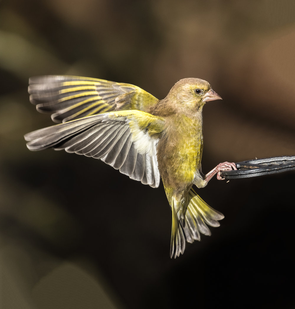 Greenfinch landing on a feeder