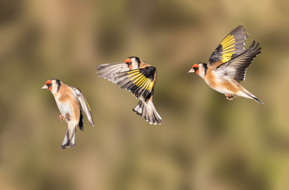 A Goldfinch flight path (composite)