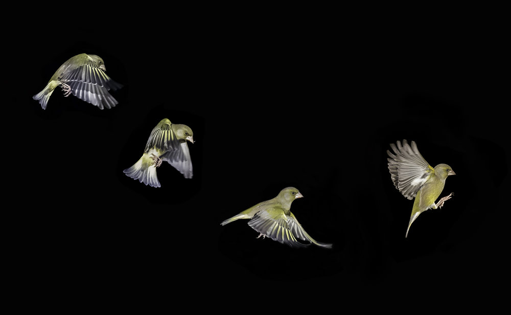 Greenfinch flight path (composite)