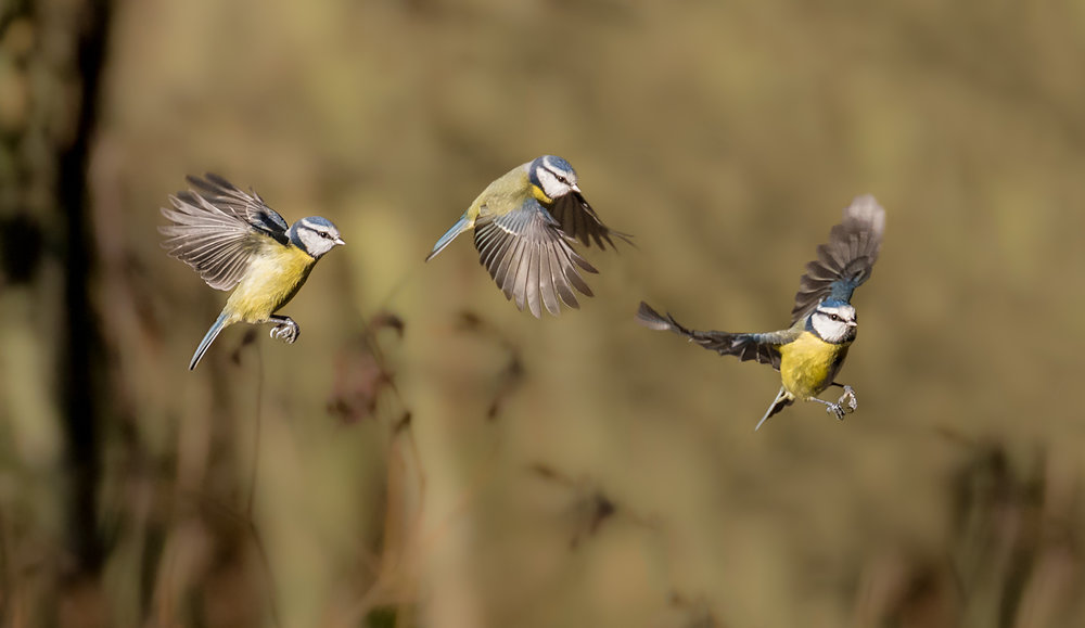 Blue Tit flight path (composite)