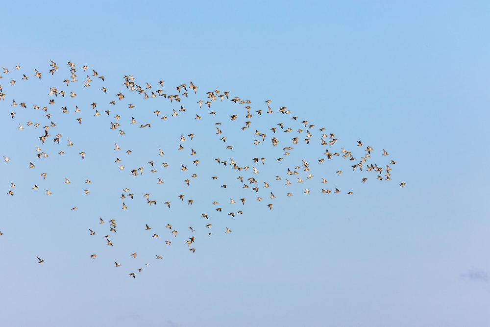 Flock of Golden Plovers
