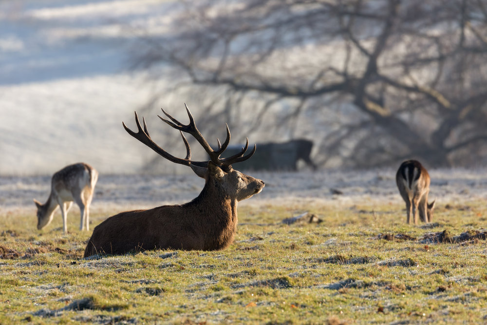 Red Deer stag at rest in the autumn sunshine