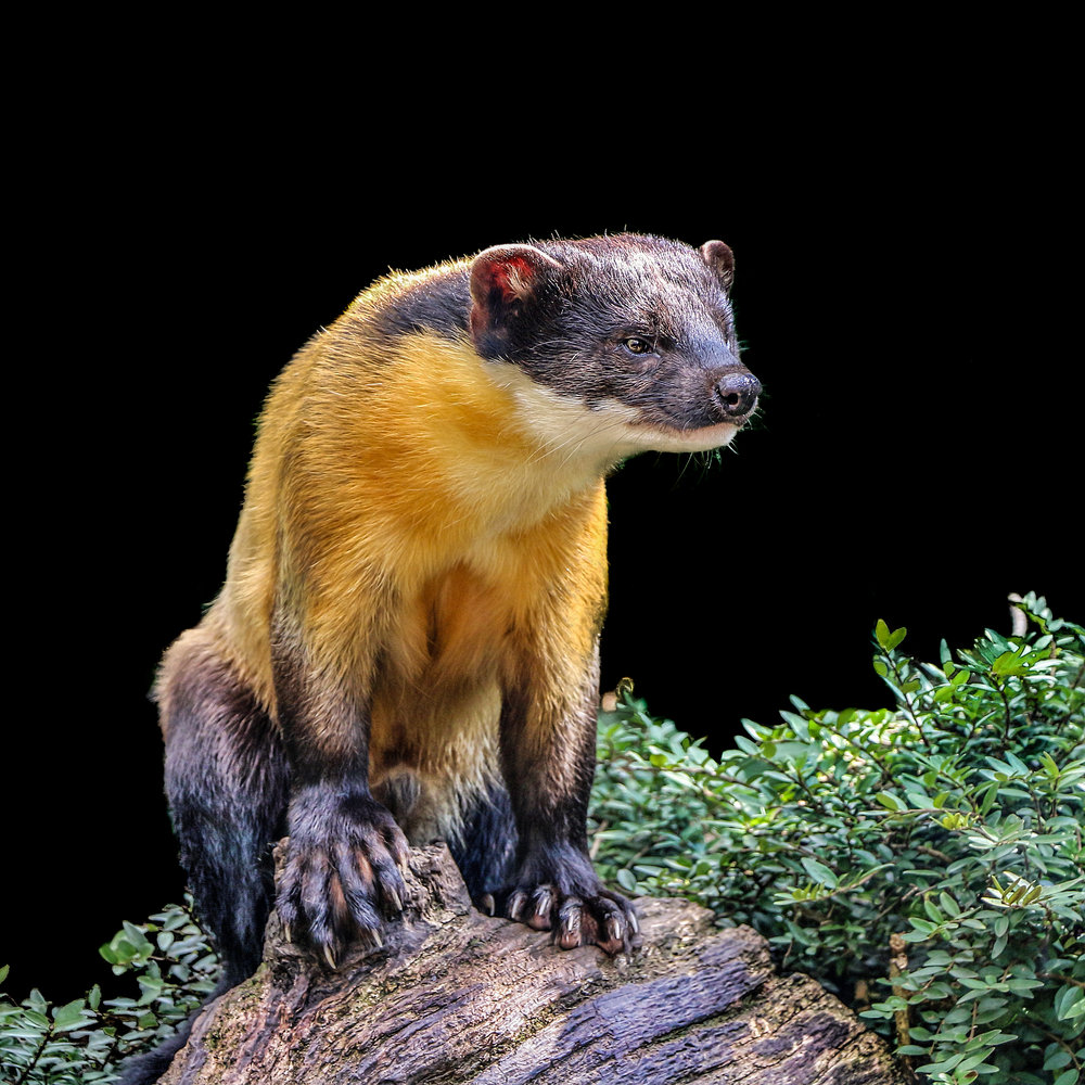 Yellow Throated Marten (Twycross Zoo)