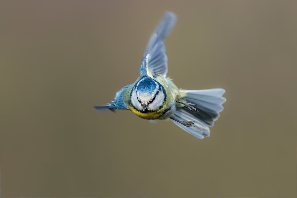 Blue Tit flight agility
