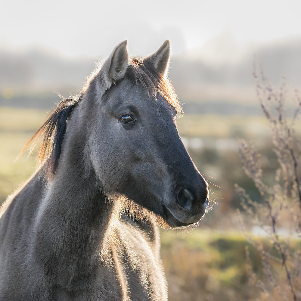 Konic pony at RSPB Middleton Lakes