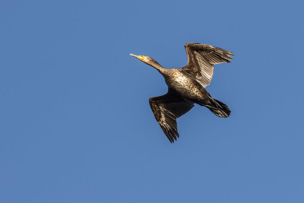 Cormorant flypast