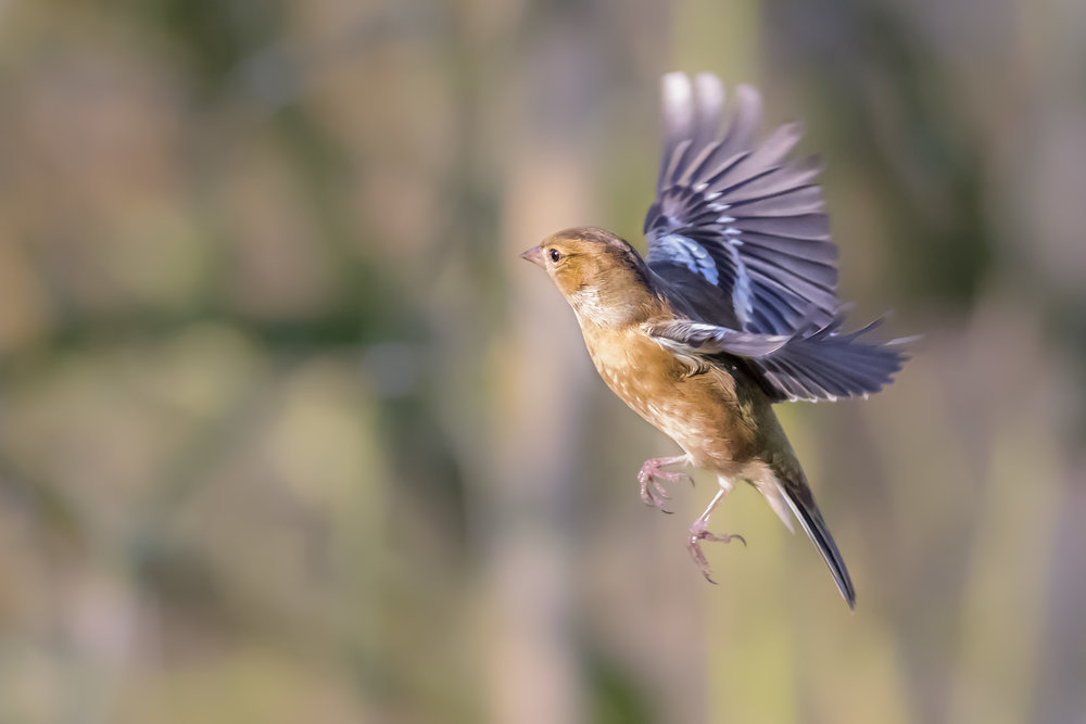 Chaffinch flight