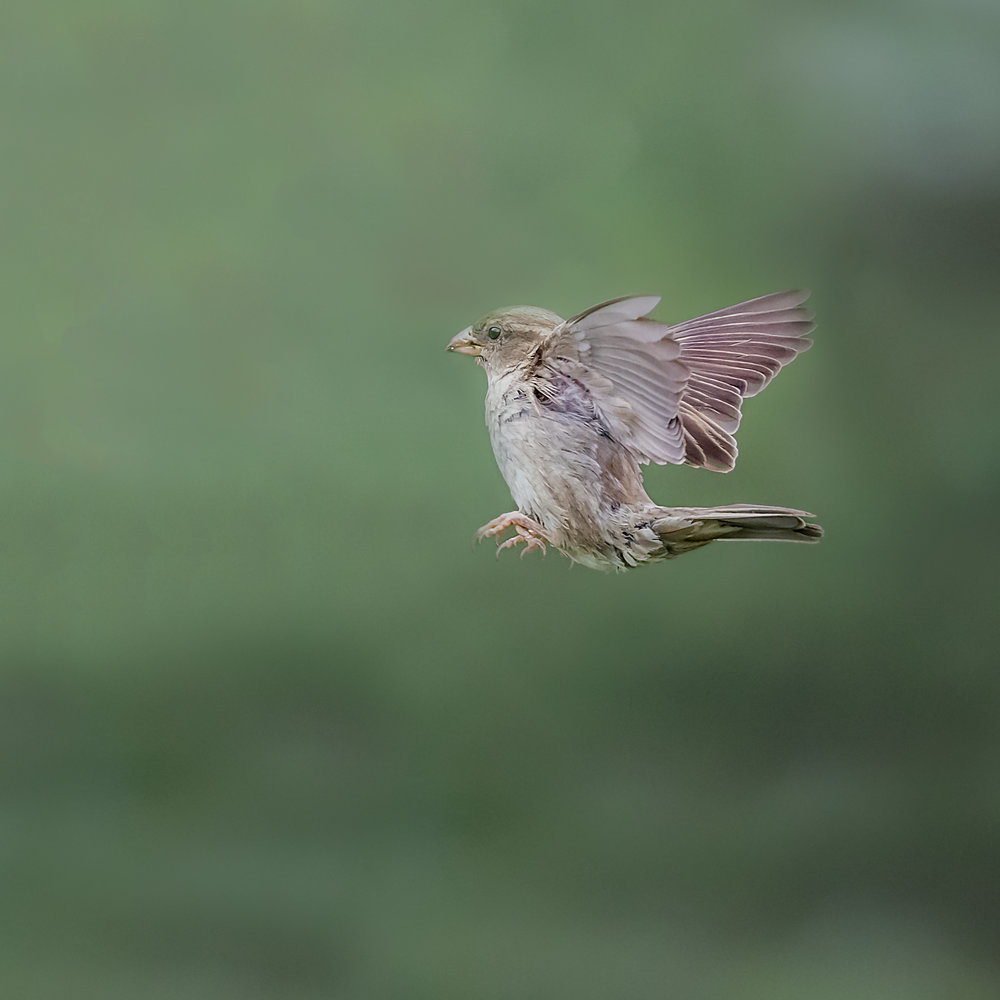A Sparrow putting on the brakes