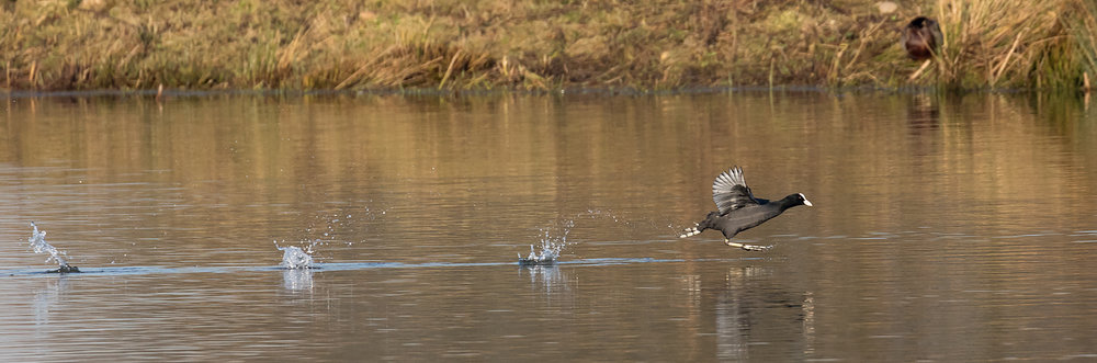 A Coot in a hurry!
