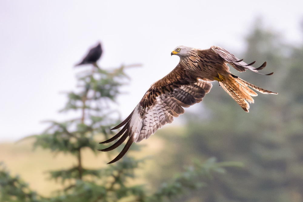 Red Kite flypast