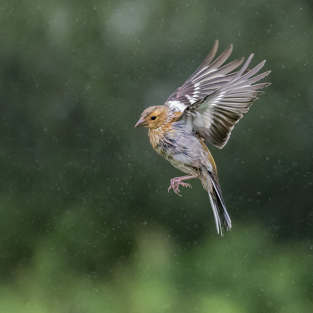 A wet Chaffinch coming into land