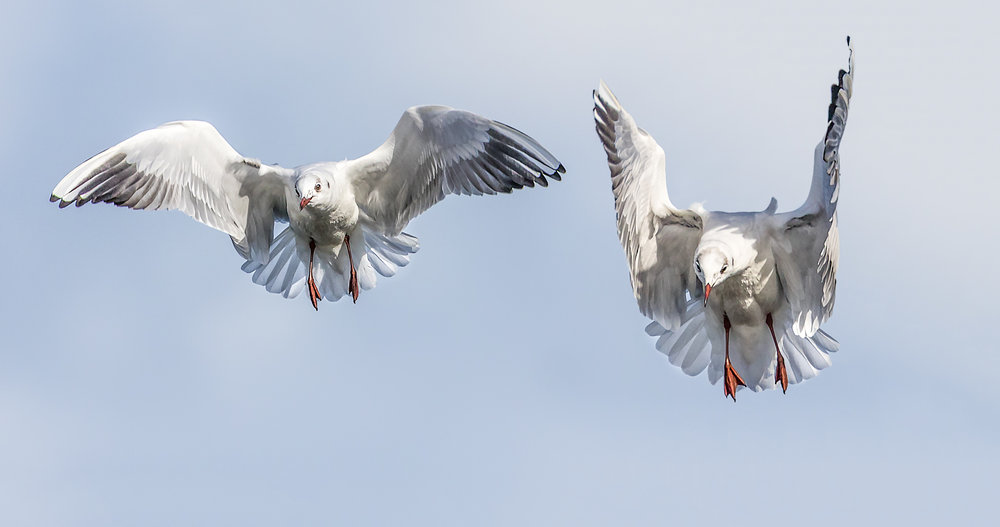 Non breeding adult Black Headed Gulls