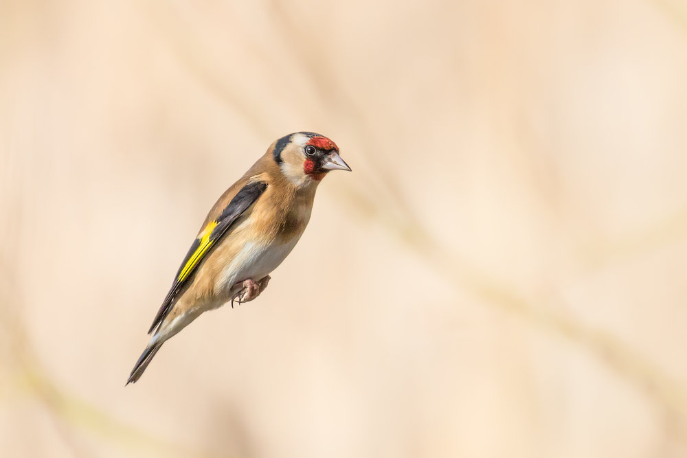 Goldfinch cruising past