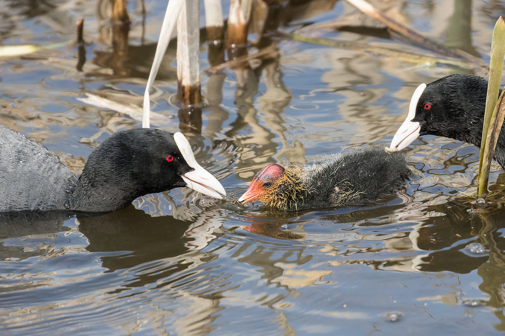 Coot parents feeding their chick