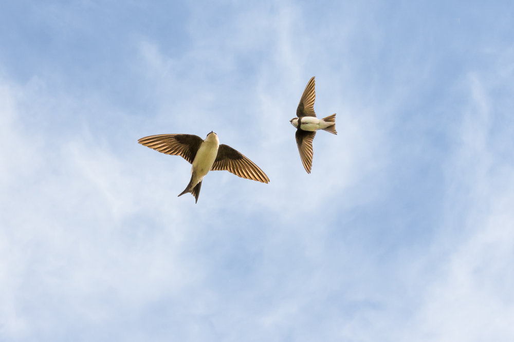 House Martin (right) and Sand Martin
