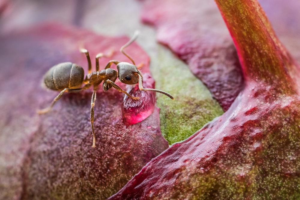 Ant on Peony flower bud
