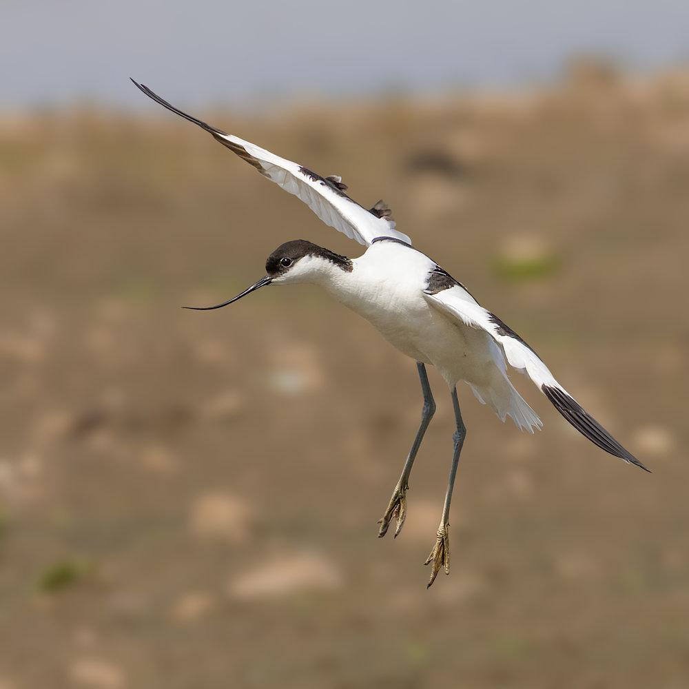 Avocet gently landing
