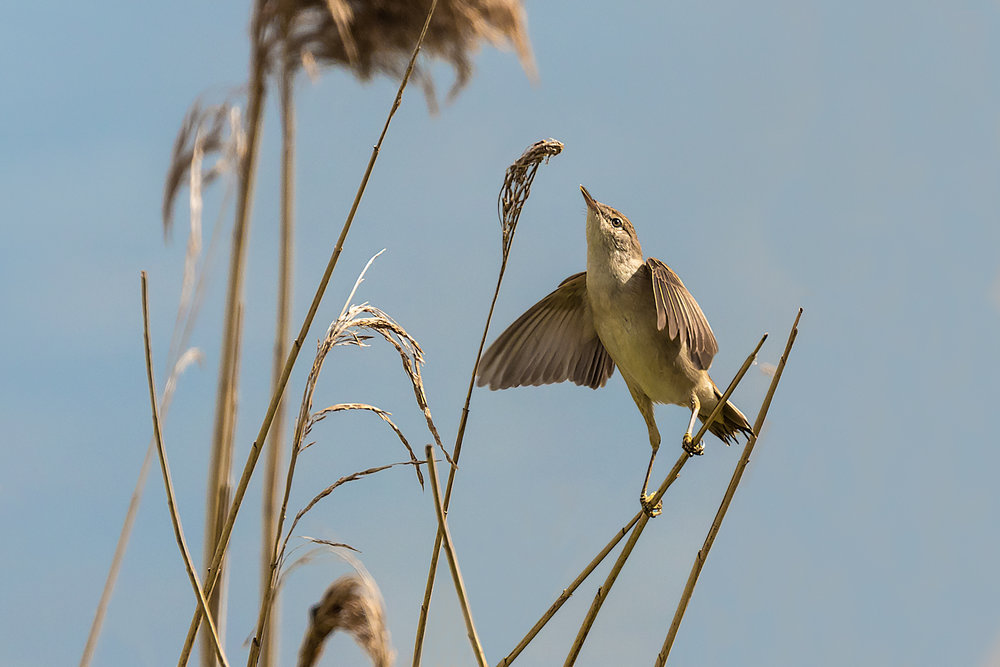 Reed Warbler about to grab some nest material