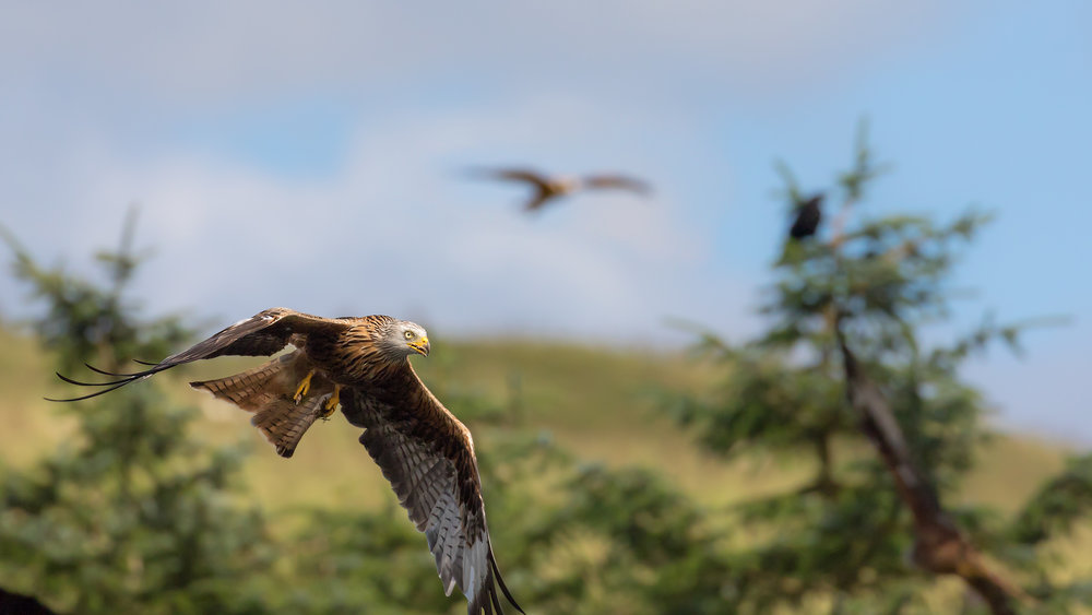 Red Kite landscape